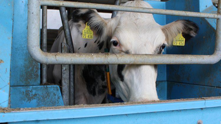 Kuh im Stall beim Fressen. Quelle: Ilgaz Yorulmaz