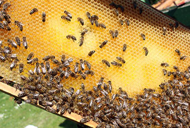Frischer Honig in einer Bienenwabe // Foto: Marvin Heep