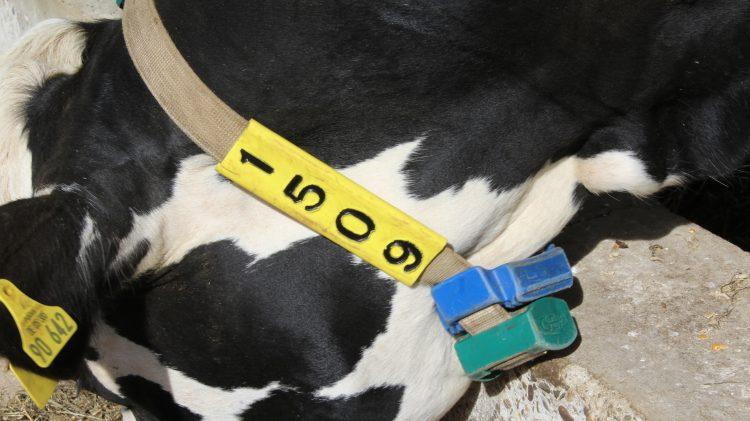 Bei Kuh 1509 sieht man die doppelten Sensoren am Hals. Quelle: Ilgaz Yorulmaz