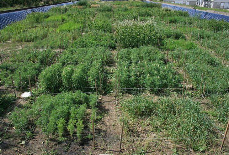 Freilandfläche zur Untersuchung von Pflanzen beim Phytomining. // Bild: Oliver Wiche