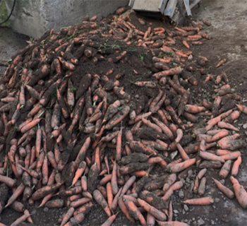 Krumme Möhren auf dem Bauernhof Lammerzhof. Foto: Jana Rueben