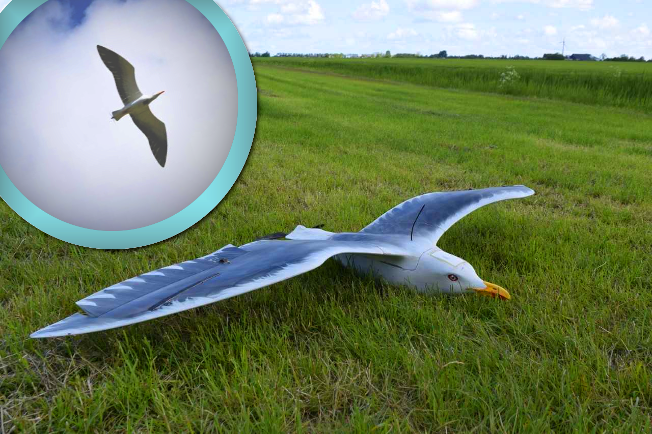 he drone as a seagull on land and the air