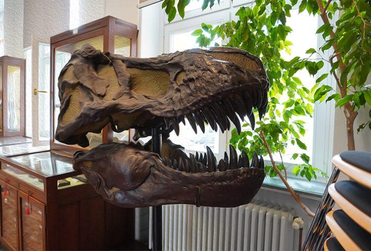 Ein T-Rex Schädel