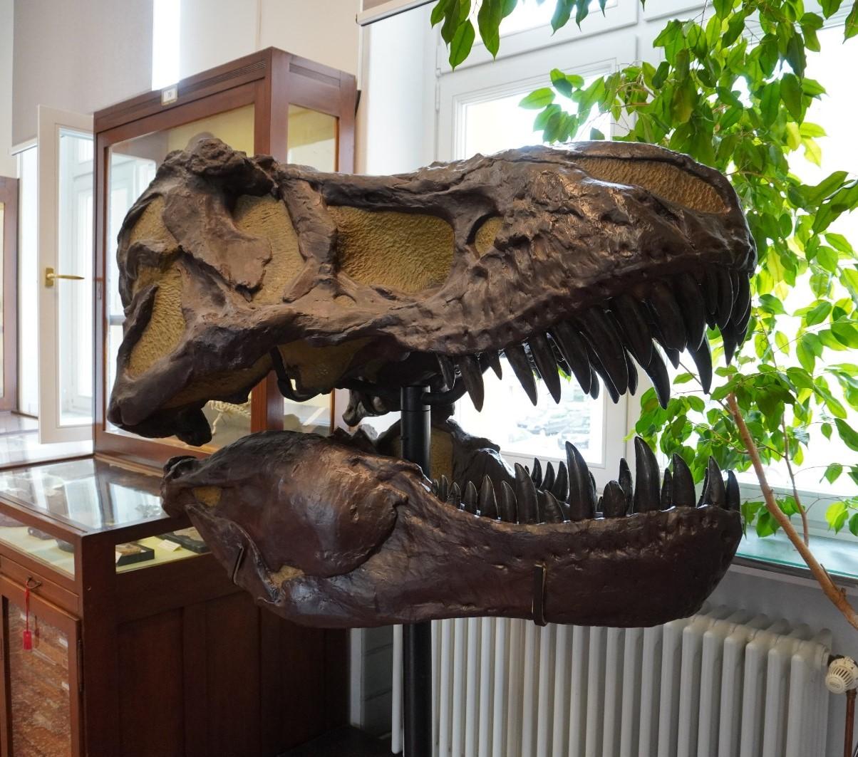 Replika eines T-Rex Schädels
