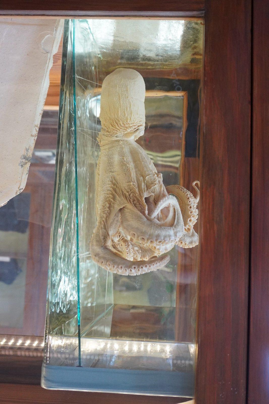 Fossil eines Tintenfisches